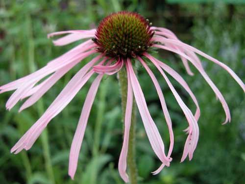 Echinacea purpurea Weatherstaff PlantingPlan cottage garden plant