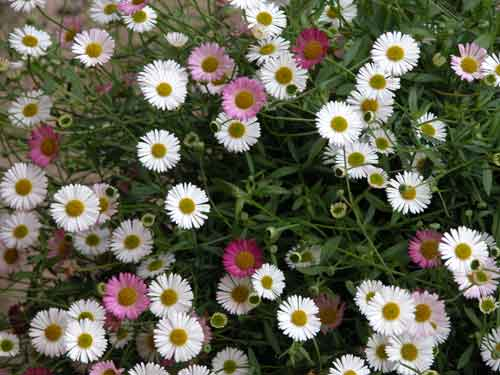 Erigeron karvinskianus for Weatherstaff PlantingPlanner blog