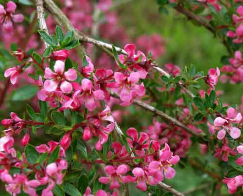 Escallonia Red Elf - flowering shrub in cottage style border