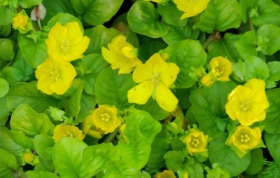 Lysimachia nummularia Aurea - landscaping design idea for cottage garden ground cover