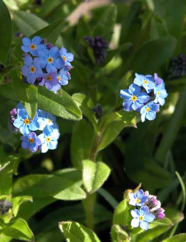 Myosotis-sylvatica, the little forget-me-not