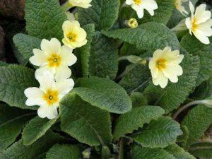 Primula vulgaris spring planting idea