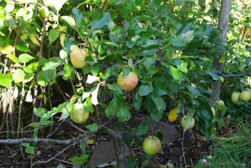Step-over apple trees in a cottage garden border design