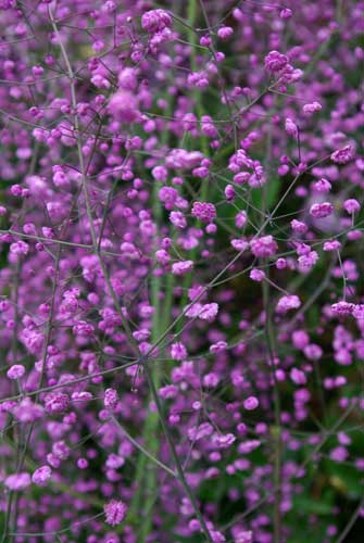 Thalictrum delavayi - Meadow Rue - for cottage garden planting plan