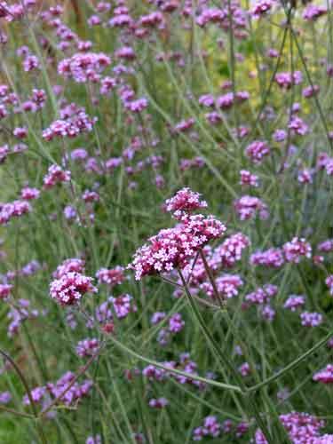 Verbena-bonariensis - Weatherstaff landscaping ideas
