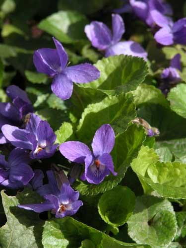 Viola odorata Queen Charlotte spring planting idea