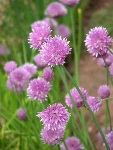 Chives (Allium schoenoprasum) - design idea for a herb garden