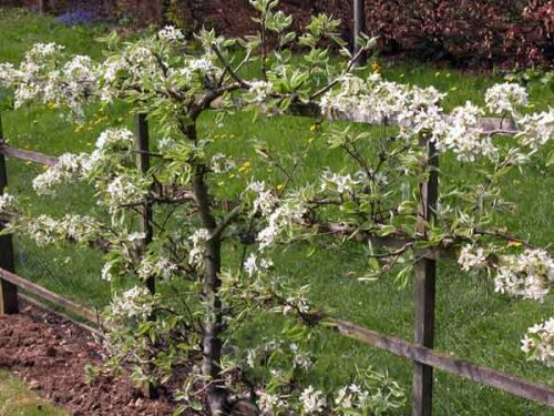 A pear tree trained to form an espalier - garden design idea for a kitchen garden