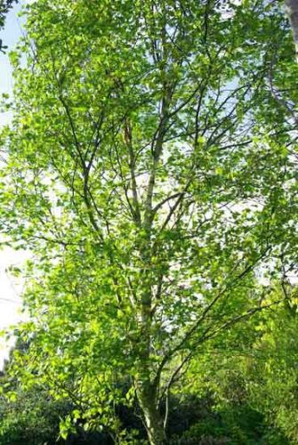Betula pendula 'Fastigiata' -tree for small gardens