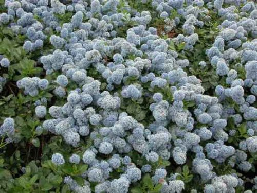 Ceanothus thyrsiflorus var repens - useful shrub for ground cover