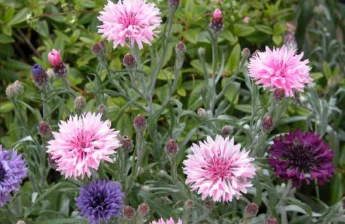 Annual cornflower (Centaurea cyanus) - cottage garden border ideas