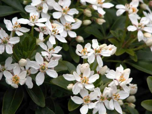 Mexican Orange Blossom (Choisya ternata) - shrubs for flower borders