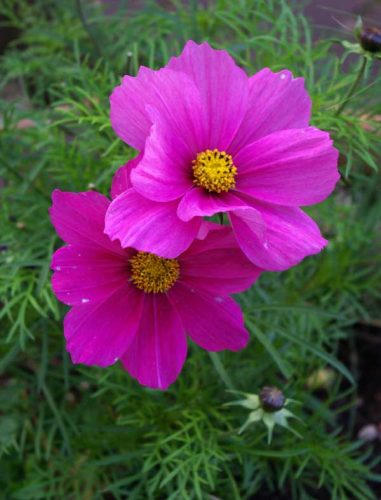 Cosmos Sonata Carmine for summer flower beds