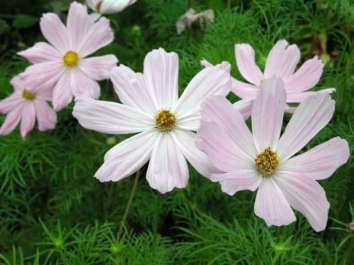 Cosmos Sonata Pink - garden design idea
