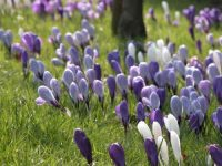 Crocuses - spring bulls perfect for naturalising in grass