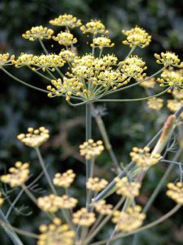 Fennel (Foeniculum vulgare Purpureum) - garden design ideas for a herb garden