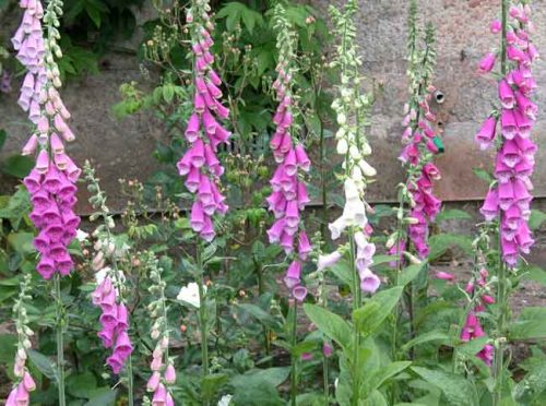 Foxgloves (Digitalis purpurea)