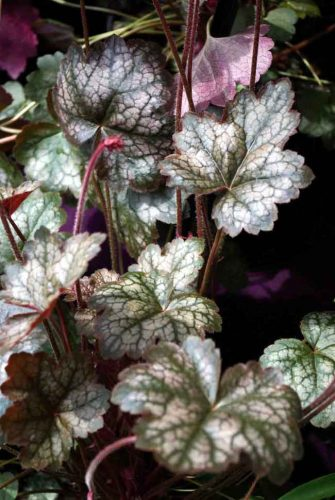 Heuchera Pewter Moon - an evergreen perennial for winter flower beds