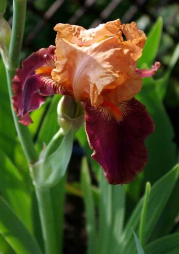 Iris Apricot Topping - garden design ideas for spring