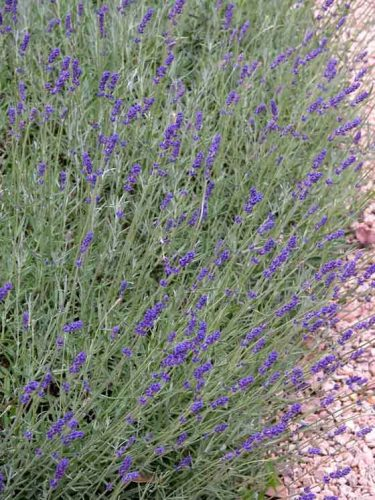 Aromatic lavender hedge - garden design idea