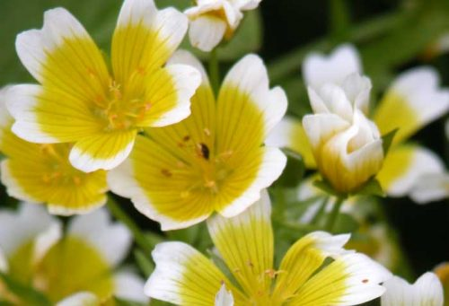 Poached egg plant (Limnanthes douglasii)  - flower bed ideas
