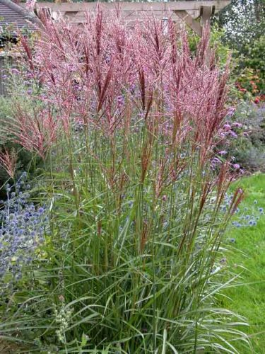 Miscanthus sinensis Nippon - a deciduous ornamental grass for garden borders