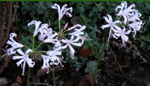 Nerine (Nerine bowdenii) - autumn garden design idea