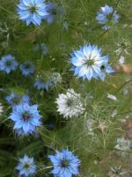 Love-in-a-mist (Nigella damascena) for flower borders