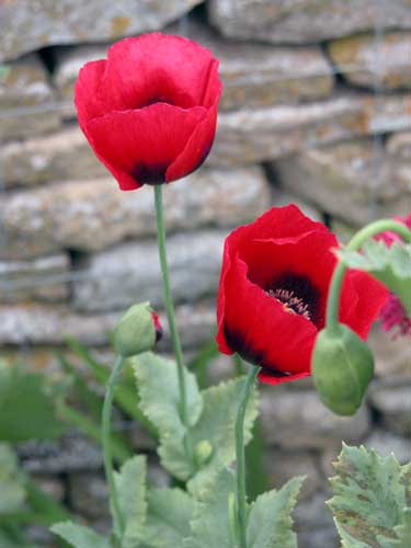 Self-seeding poppies for your garden borders