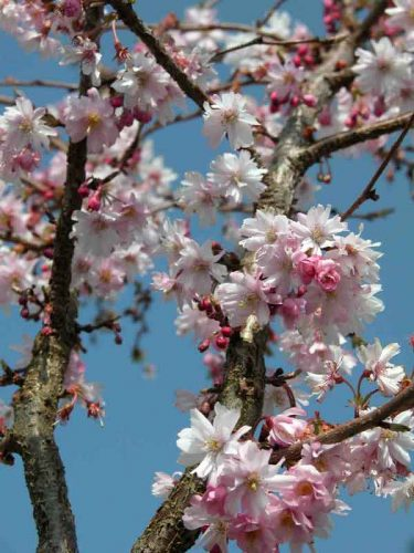 Prunus subhirtella 'Autumnalis Rosea' - winter interest tree