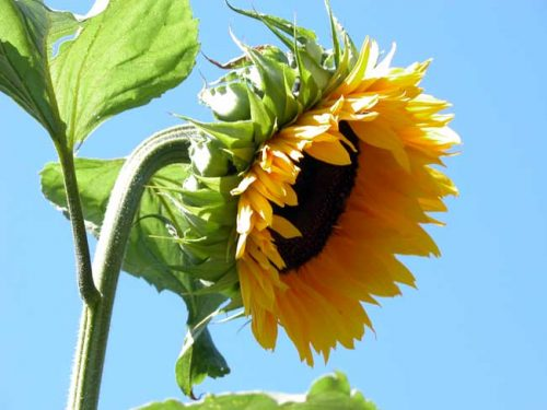 Sunflower (Helianthus annuus) - a hardy annual