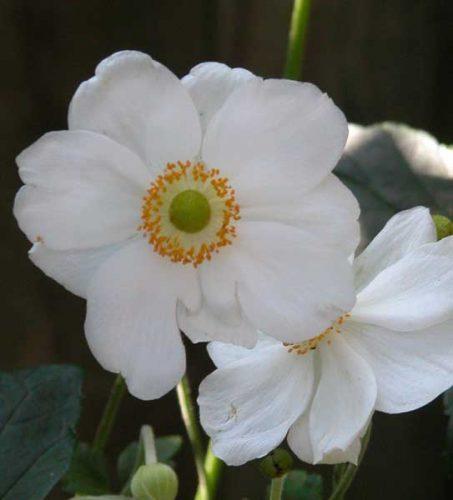 Honorine Jobert - autumn flower beds