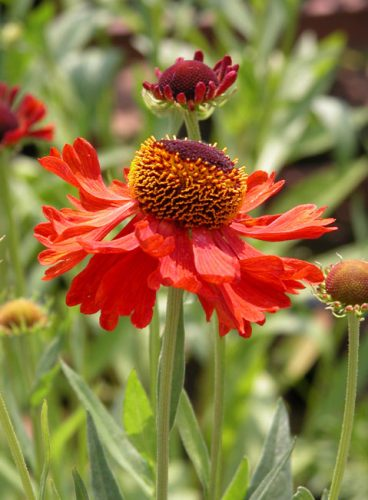 Helenium Moerheim Beauty for autumn garden borders