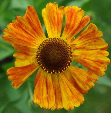 Helenium Waldtraut for autumn flower beds