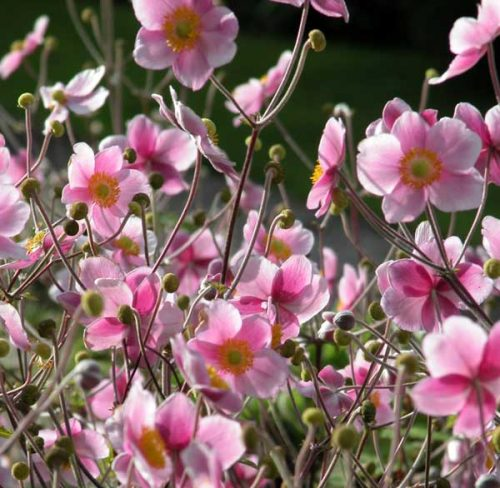 Japanese Anemone for autumn borders