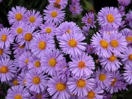 Michaelmas Daisies for autumn garden beds
