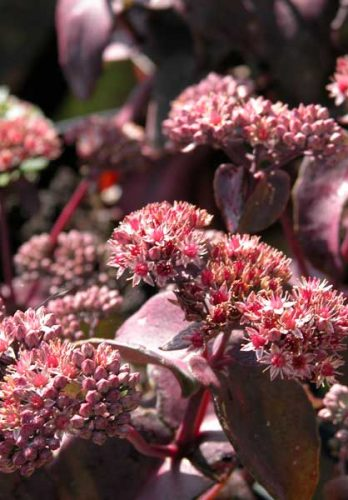 Sedum Purple Emperor - autumn perennial