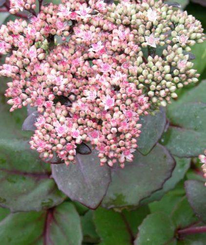 Sedum telephium Matrona autumn perennial