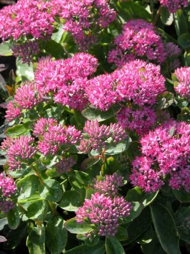 Sedum telephium Munstead Red for autumn border designs