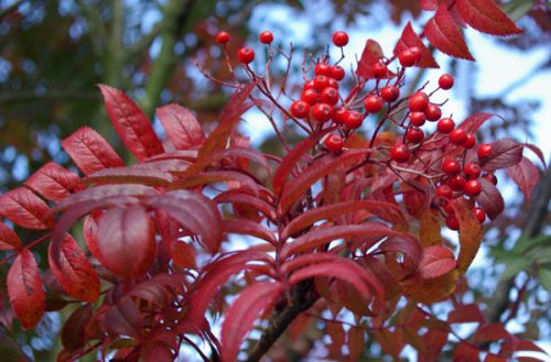 Sorbus commixta autumn gardens