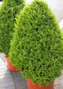 Box topiary for winter interest in garden borders and containers