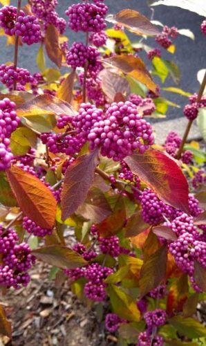 Callicarpa berries for autumn colour