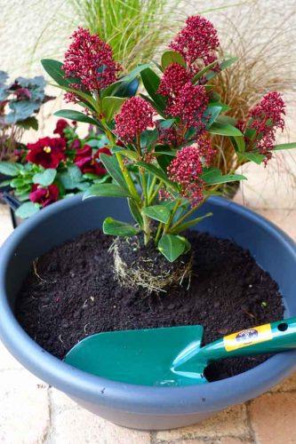 Skimmia japonica 'Rubella' - for winter colour