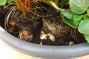 Adding bulbs to winter containers