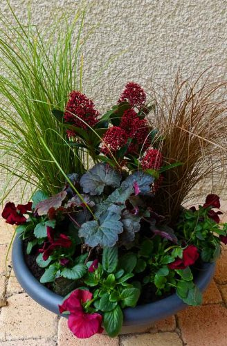 Skimmia, heuchera and pansies for winter interest