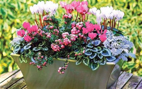 Cyclamen, Senecio cineraria and Gaultheria mucronata - ideas for winter garden borders and containers