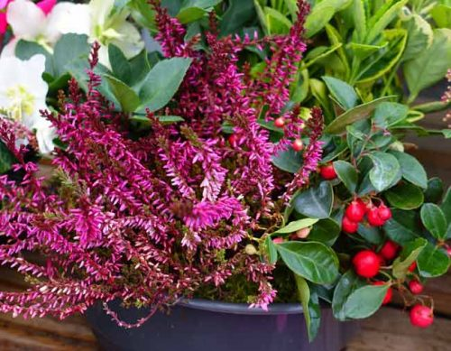 Heather, gaultheria and hellebore in a winter pot