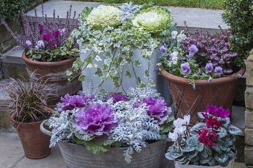 Ornamental cabbages in a winter display from Weatherstaff