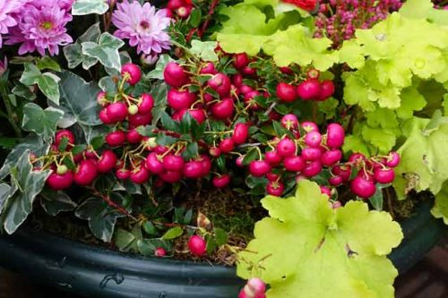 Gaultheria mucronata berries and lime green heuchera in winter containers