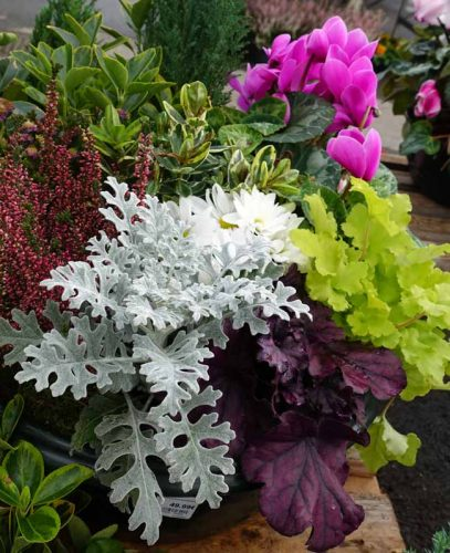 Senecio, heuchera and cyclamen